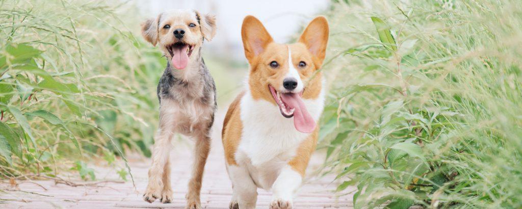 犬2頭が走っている画像